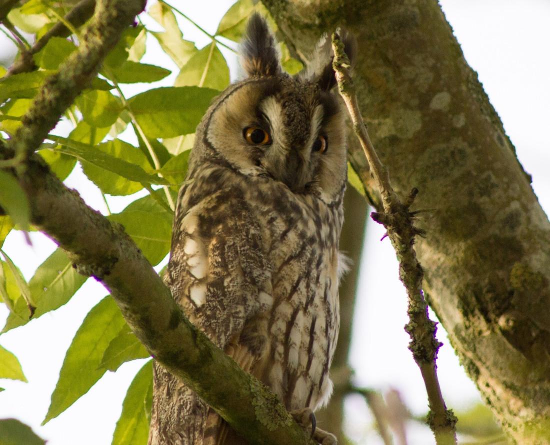 ransuil_long-eared-owl