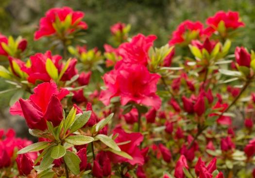 red flowering shrub