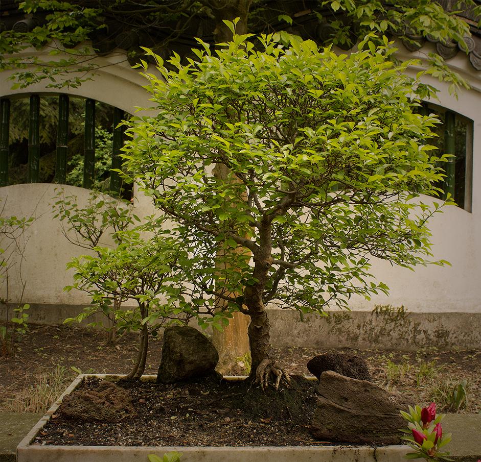 Hortus Haren (NL), miniature tree, japanese style