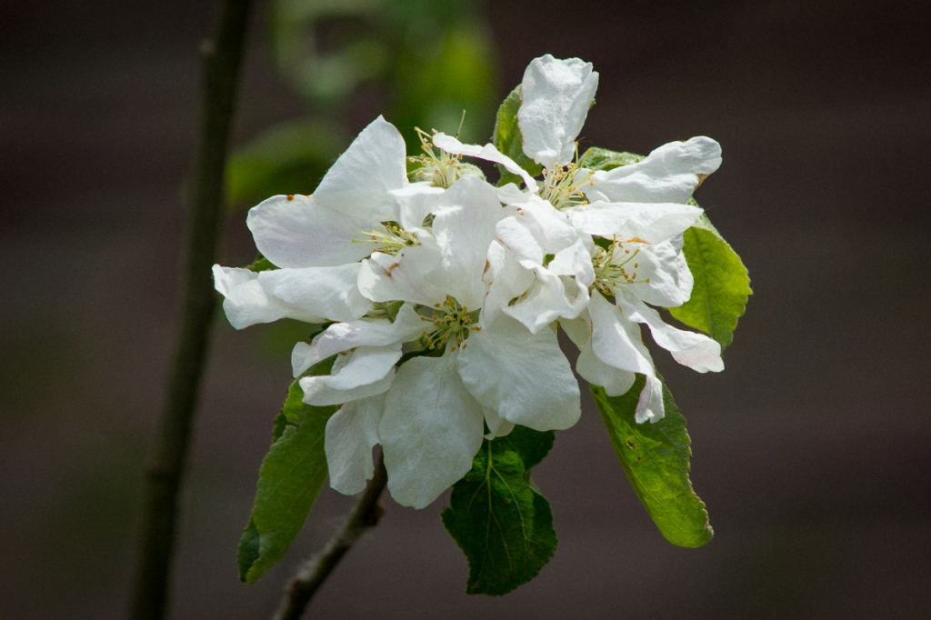 Apple blossom in back garden, May.
